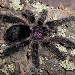 avicularia1species.jpg