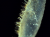 Nesodillo_sp._PhipunTiger_Leg1_propodus.png