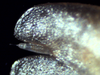 Nesodillo_sp._PhipunTiger_Uropodventral_1.png