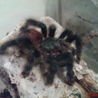 my new a.avicularia