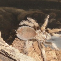 Aphonopelma sp. New River