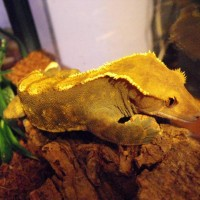 crested gecko male Harley