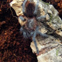 Aphonopelma anax? Not sure?