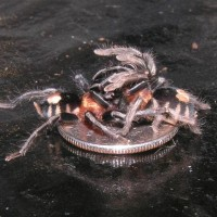 Cyriocosmus Elegans Mating on a Dime