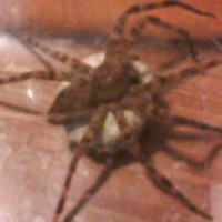 Spotted Fishing spider Dolomedes triton with Egg Sac