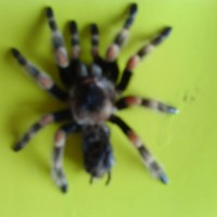 drutts first molt