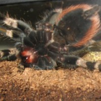 N. chromatus, second shot