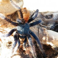 Chromatopelma Cyaneopubescens (Green Bottle Blue) MM