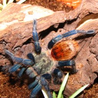 GBB Freshly Molted (Chromatopelma cyaneopubescens)