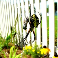 Orb Weaver in my Backyard!!!