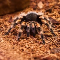 Female B. smithi - Jazz