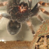 Brachypelma Smithi - needs a Gender!