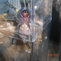 Poecilotheria Metallica Please Sex!!!