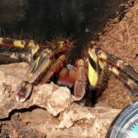 P ornata close up