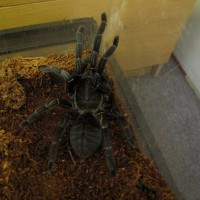 is this Haplopelma longipes?