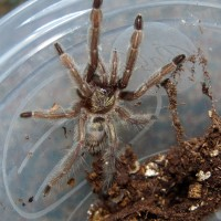 My Psalmopoeus cambridgei, Digger
