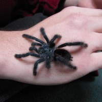 freshly molted A.avicularia