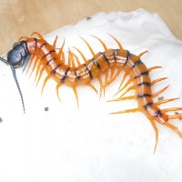 Scolopendra subspinipes de haani Cherry red