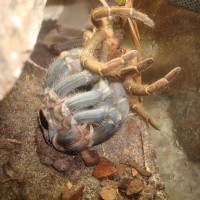 my A. seemanni molting