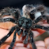 Avicularia Metallica sp Green