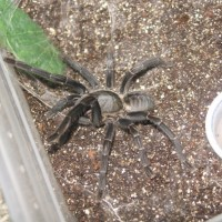 Is This A Haplopelma Longipes?