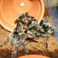 Pulchripes Breeding
