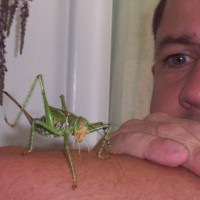 Giant Red Eyed Katydid