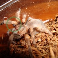 Brachypelma Smithi Injury