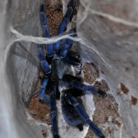 H. Lividum After Molt