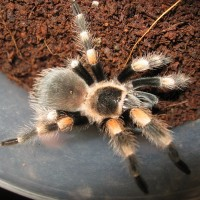 My First T( It Was So Small) B. Smithi