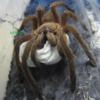 Chilobrachys Guangxiensis With Sac
