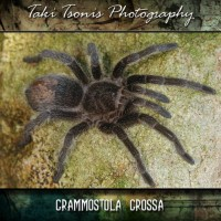 Grammostola Grossa or sp 'formosa'?