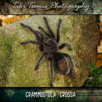 Grammostola Grossa Or Formosa?