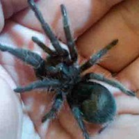 Grammostola Pulchra Black Beauty