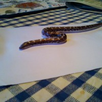 Female Anery Sand Boa