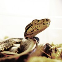 Halloween Amazon Tree Boa