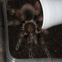 P.platyomma : Dark Or Bright Variant ?