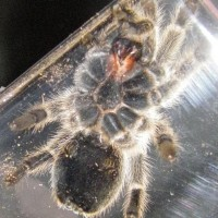G. Rosea Male Or Female?