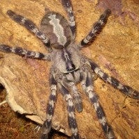 Female P. Regalis
