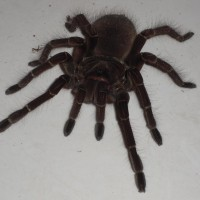 Theraphosa Blondi-female