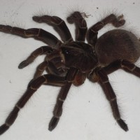 Theraphosa Blondi-female2