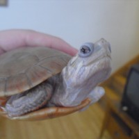 Albino Painted Turtle