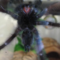 A. Avic Male Or Female?