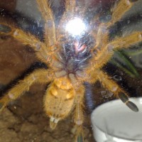 P.murinus Male Or Female