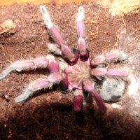 Pamphobeteus Plattyomma Brazilian Pink Bloom Male