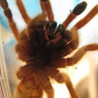 P. Murinus Male Or Fem?