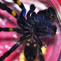 Poecilotheria Metallica 2 Male Or Female?
