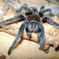Fresh Female Grammostola Rosea Moult (rosie)