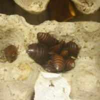 Orange Head Roaches (eublaberus Prosticus)