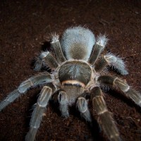"Acanthoscurria Sp. ""paraguay"""